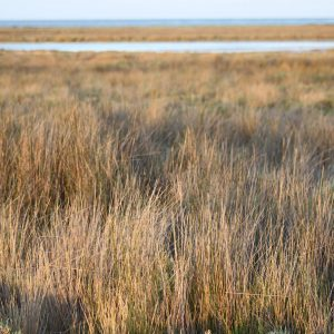 The existence of Juncus effuses is associated with wetlands. Photo: H. Naoufel